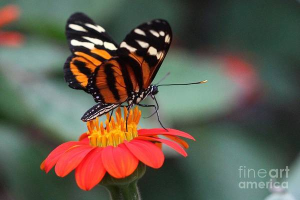 Black And Brown Butterfly On A Red Flower Poster