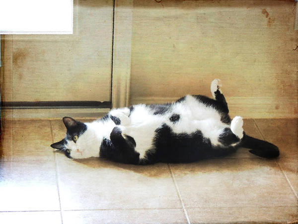 Black And White Cat Reclining Poster