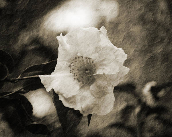 Black And White Flower With Texture Poster