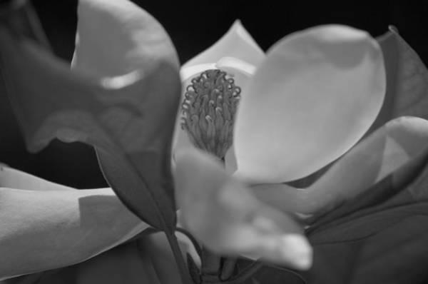 Black And White Magnolia Poster