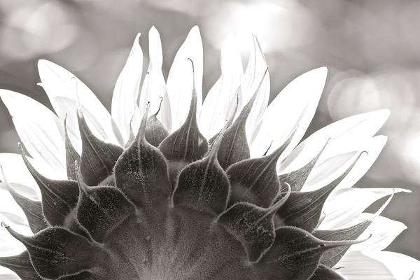 Black And White Sunflower Poster
