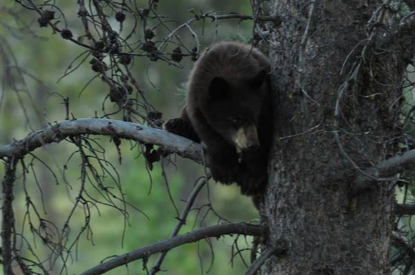 Black Bear Cub In Tree Poster