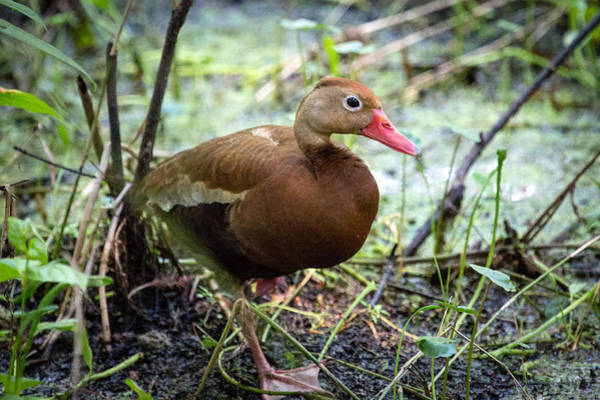 Black-bellied Whistling Duck 2 Poster