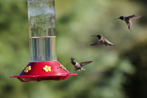 Black-chinned Hummingbird Action Panorama Poster