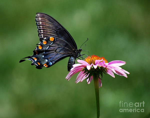 Black Swallowtail Butterfly On A Coneflower Poster