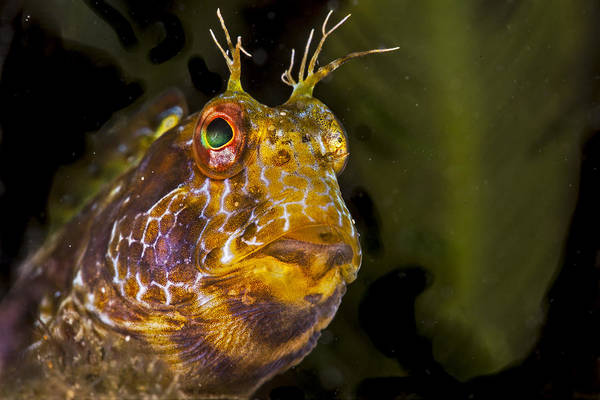 Blenny In Deep Thought Poster