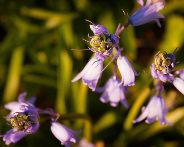 Blooming Bluebells Poster