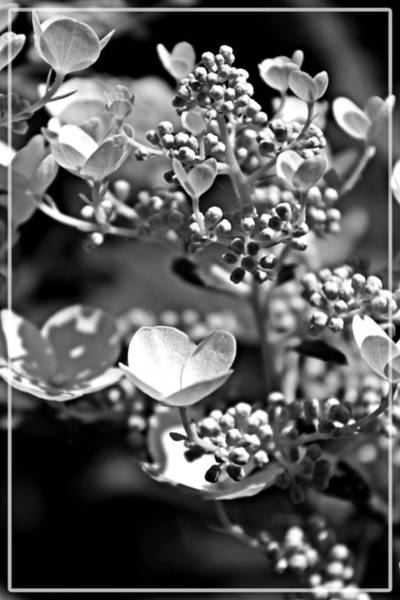 Blooms And Berries In Black And White Poster