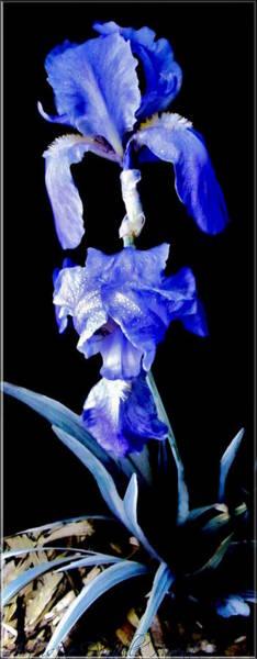 Blue Bearded Rhizomatous Irises Poster