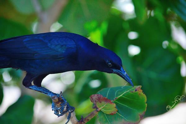 Blue-black Black Bird Poster