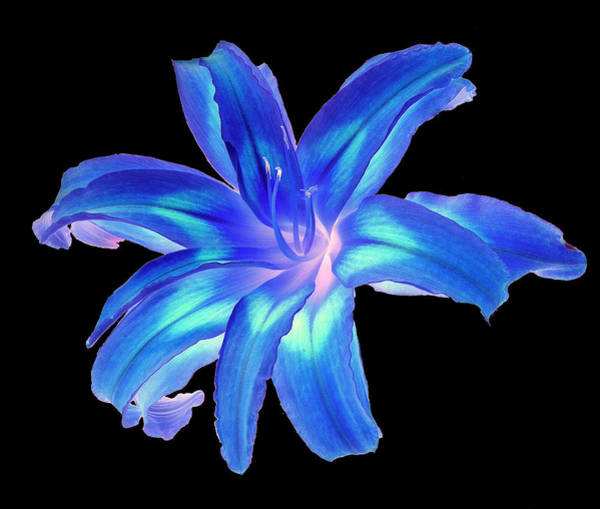 Blue Day Lily #2 Poster