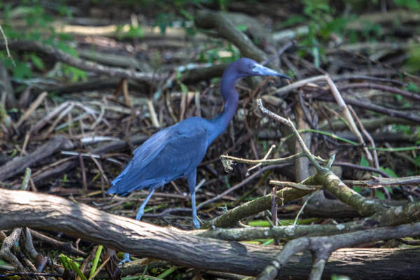 Little Blue Heron On The Banks Of An Atchafalya Bayou Poster