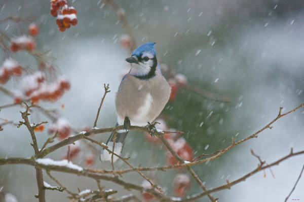 Blue Jay In Snow Poster