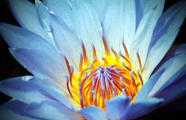 Blue Lotus Poster