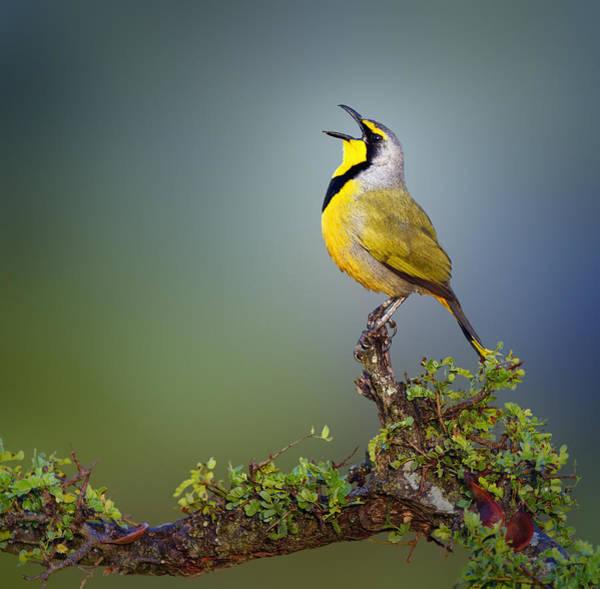 Bokmakierie Bird - Telophorus Zeylonus Poster