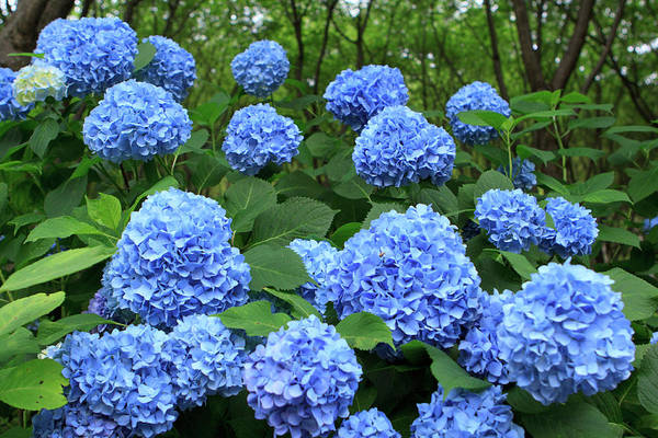 Brightly Colored Hydrangea Flowers Poster
