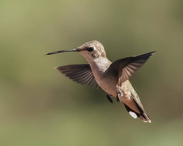 Broad-tailed Hummingbird 1 Poster