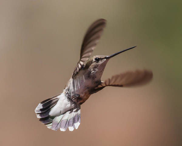 Broad-tailed Hummingbird 2 Poster