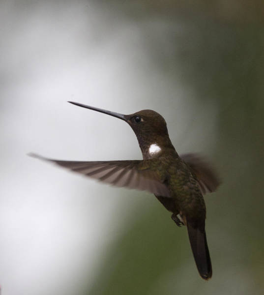 Brown Inca Hummingbird Poster
