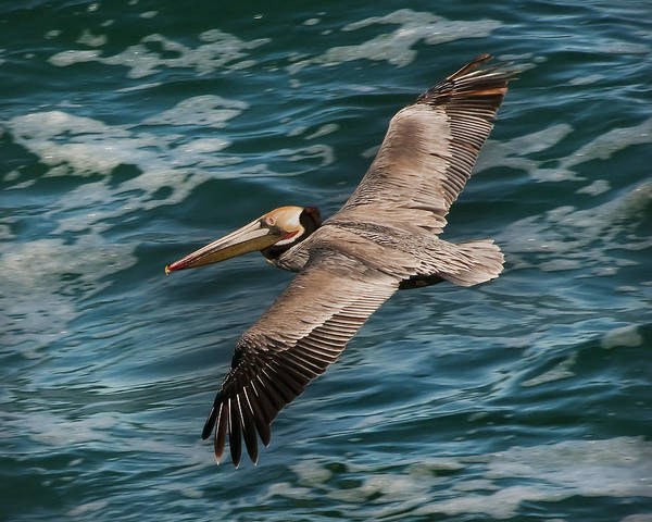 Brown Pelican Flying 1 Poster