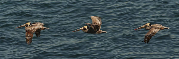 Brown Pelican Flying Panorama Poster