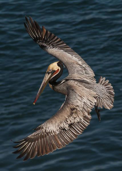 Brown Pelican Landing 2 Poster
