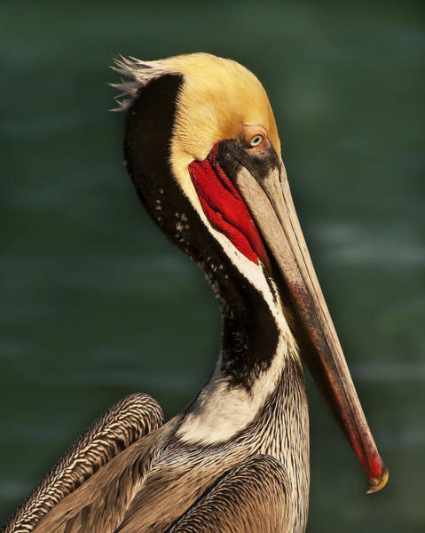 Brown Pelican Portrait Poster