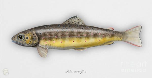 Brown Trout - Salmo Trutta Morpha Fario - Salmo Trutta Fario - Game Fish - Flyfishing Poster