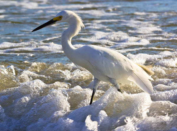 Bubbles Around Snowy Egret Poster