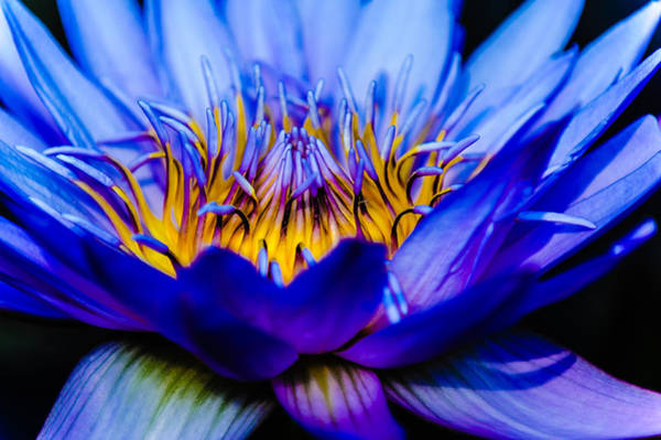 Burning Water Lily Poster