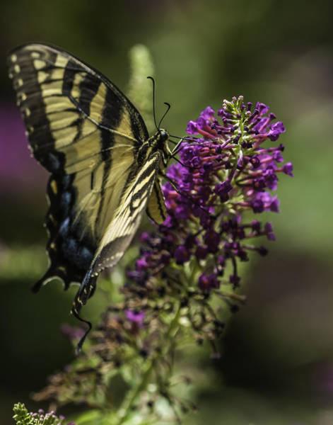 Butterflies Along The Blue Ridge Poster