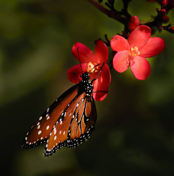 Butterfly On Red Blossom Poster