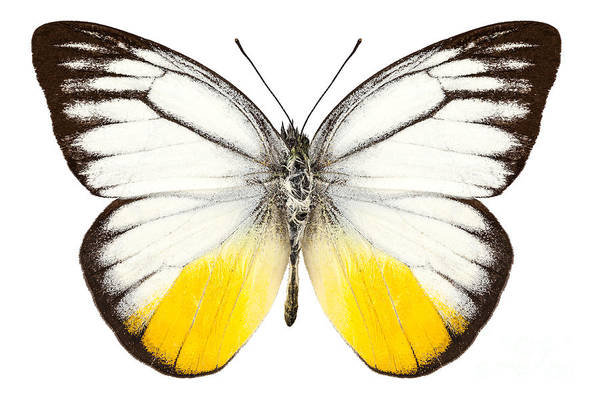 Butterfly Species Cepora Judith  Poster