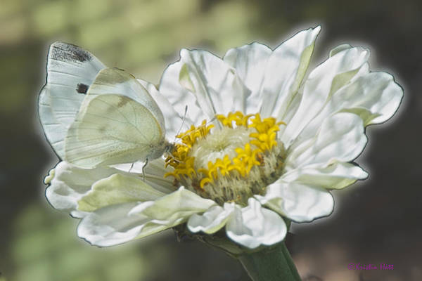 Cabbage White Butterfly On Zinnia 2 Poster