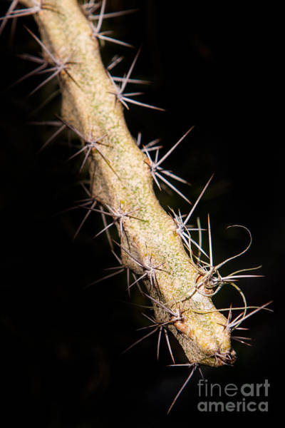 Poster featuring the photograph Cactus Branch by John Wadleigh