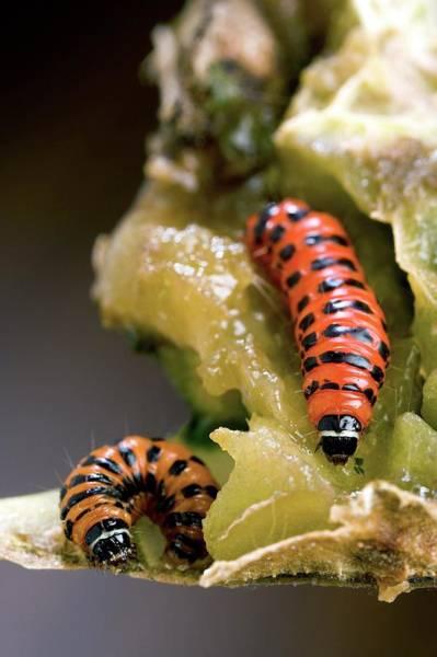 Cactus Moth Larvae Poster