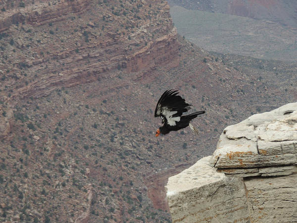 California Condor Taking Flight Poster
