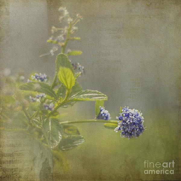 California Lilac Poster