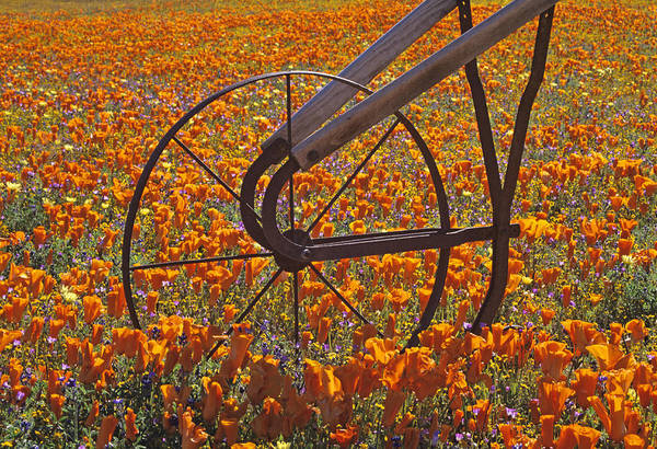 California Poppy Field Poster