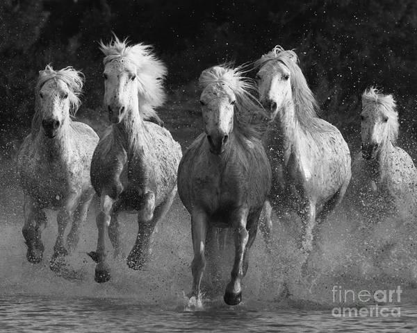 Camargue Horses Running Poster