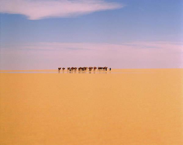 Camel Caravan In Western Tenere Desert Poster