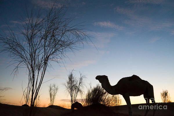 Camel Sunset Poster