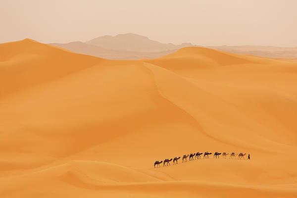 Camels Caravan In Sahara Poster