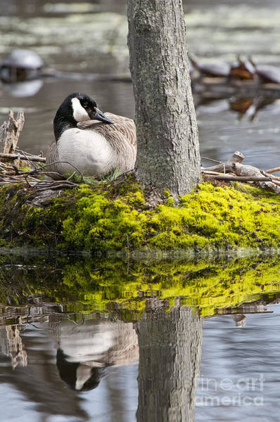 Canada Goose On Nest Poster