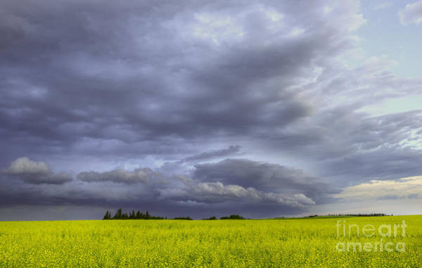 Canola And Storm Poster