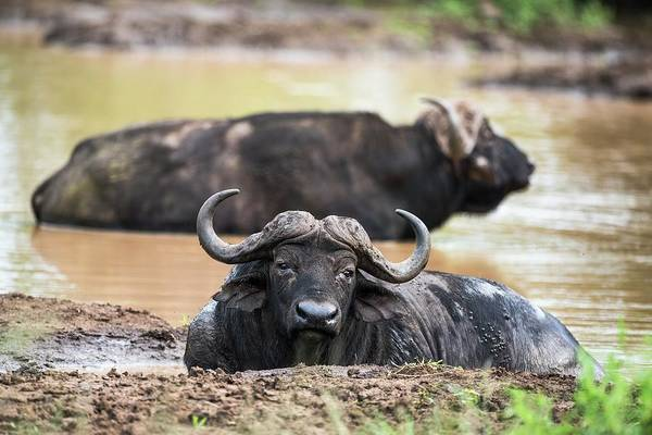 Cape Buffalo Bulls Wallowing Poster