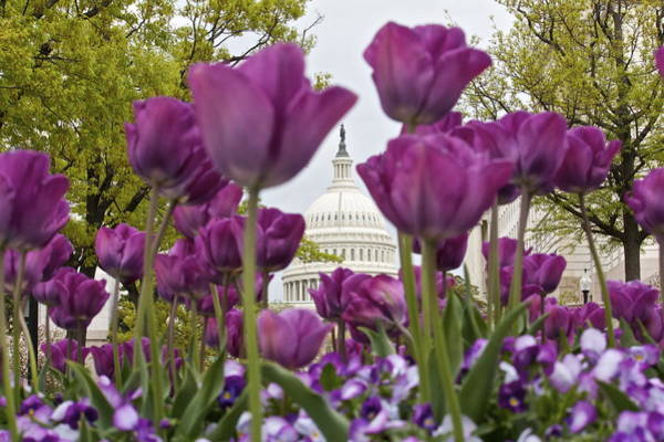 Capitol With Tulips Poster