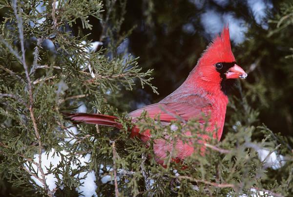 Cardinal Cardinalis Cardinalis In Pine Poster