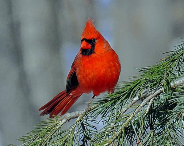 Cardinal In An Evergreen Poster