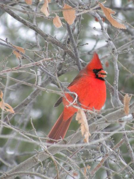 Cardinal In December Poster